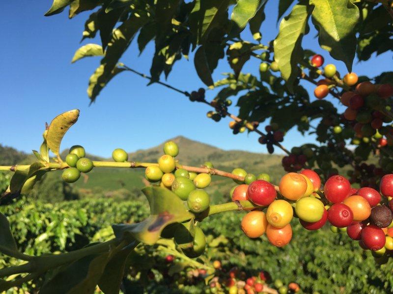 Plantatie de cafea din Brazilia